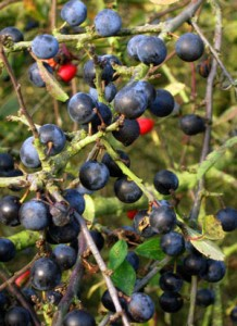 Managing hedgerows.