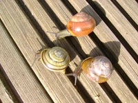 ­Local Adaptation in the Land Snail, Cepaea nemoralis