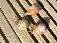 Local Adaptation in the Land Snail, Cepaea nemoralis