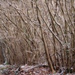 snowy-coppice