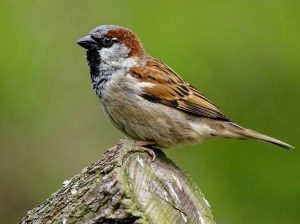 Air pollution and sparrows