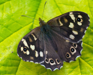 speckled-wood-1