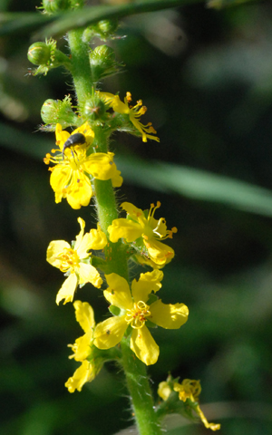 spike of agrimony