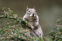 Squirrel pox