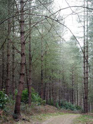 stand corsican pine