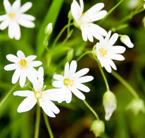 stitchwort-flowers