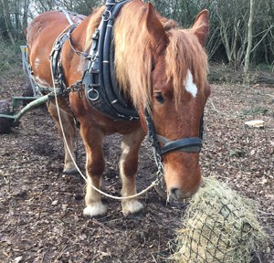 Using a horse to extract timber from woodland