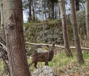 Deer, damage and the pandemic.
