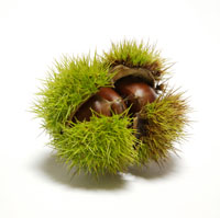 Foraging for Sweet Chestnuts