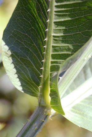 teasel leaf under