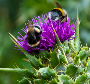 thistle-and-two-bees