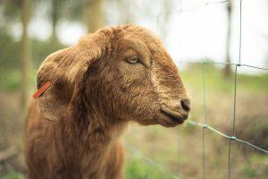 Woodland Goats