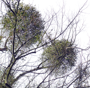 A seasonal plant - Mistletoe.