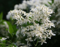 Old Man's Beard  - Clematis vitalba
