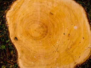 Estimating the Age of a Tree - Counting the annual rings