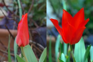 tulip - open and closed
