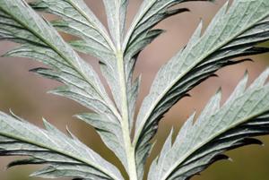 underside silverweed