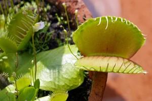 venus leaf 1