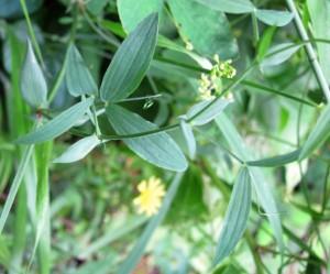 vetch leaf