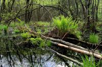 Wet Woodland - Carr