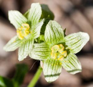 white bryony flower