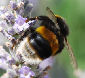 Know your bumblebees