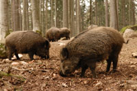 Wild Boar and Woodland Regeneration