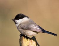 Woodland Birds in Decline?