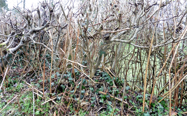 Rather bare hedgerow - after winter