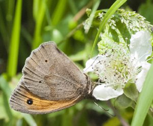 woodland butterfly