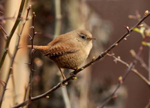 Winter survival in wrens