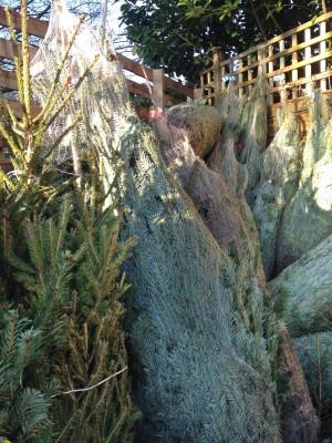 "The ""woodlands.co.uk"" Christmas Tree Quiz"