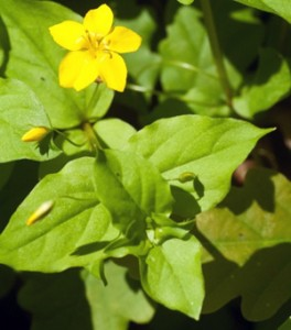 yellow-pimpernel-3