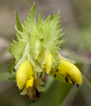 yellow rattle flower 3