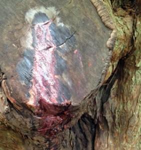 Bleeding Yew tree in Pembrokeshire