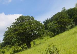 Woodland types :Yew Woodland.
