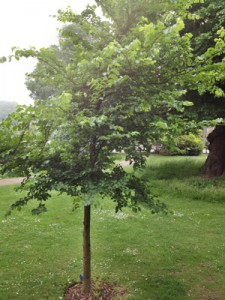 Dutch Elm disease and Brighton's National Collection of elm trees