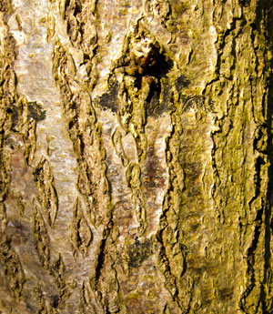 young-oak-bark