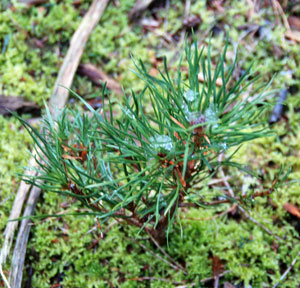 young-pine