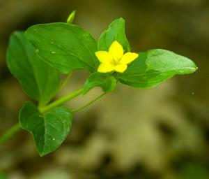 yp-leaves